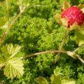 ヘビイチゴの花と果実。ヘビイチゴのグランドカバー
