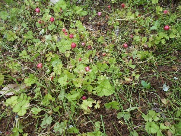 ヘビイチゴの果実