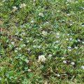 ものすごく小さなニワゼキショウみたいな花の群生