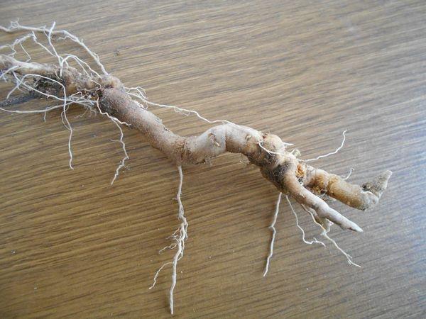 ワルナスビの根