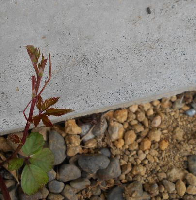 ヤブガラシの芽