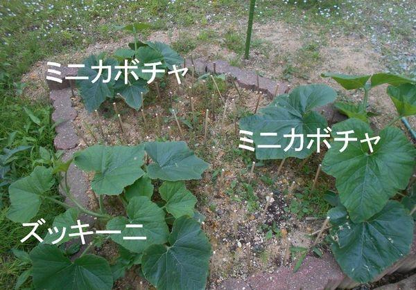 ズッキーニのとミニカボチャの葉