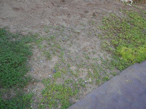 ヘビイチゴ畑の草むしり