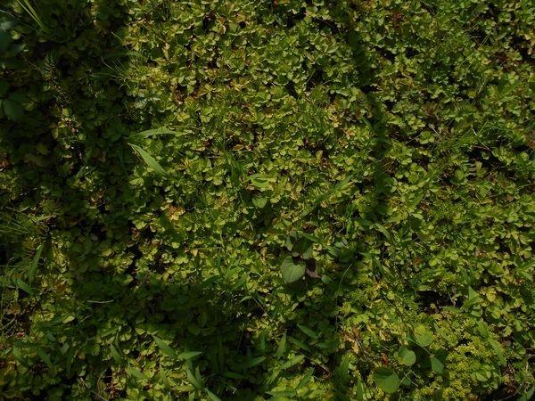 ヘビイチゴのグランドカバー1