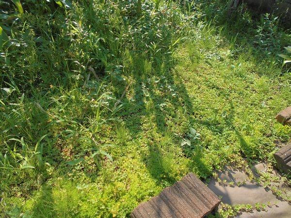ヘビイチゴと雑草2