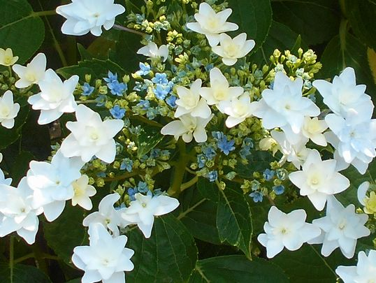 隅田の花火の花