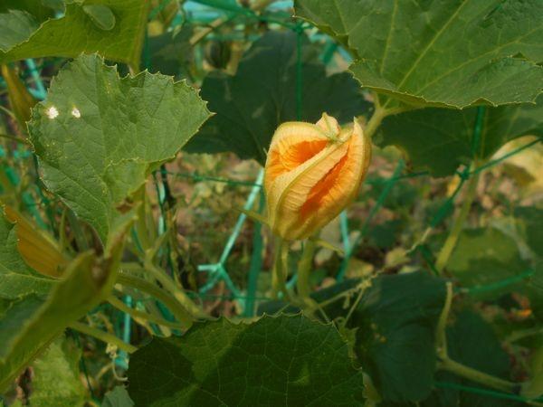 おもちゃかぼちゃの花がしぼむ