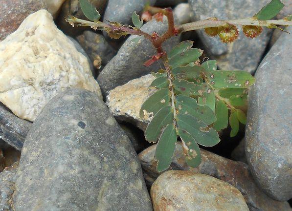 雑草の芽2