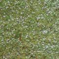 ヒメイワダレソウの特徴と栽培方法。種類。