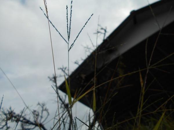 秋のメヒシバ