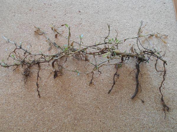 ヒメイワダレソウの根