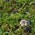 ヒメイワダレソウと雑草。芽吹きの頃と夏。囲い込みの方法