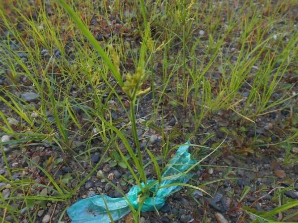 庭のカヤツリグサ3
