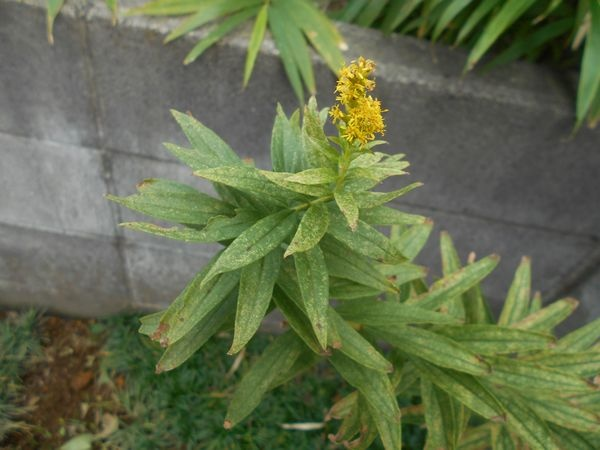 庭のセイタカアワダチソウの花