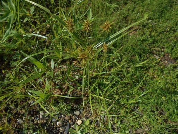 庭のカヤツリグサ1