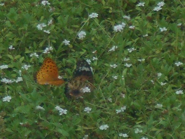 リッピアと蝶々2