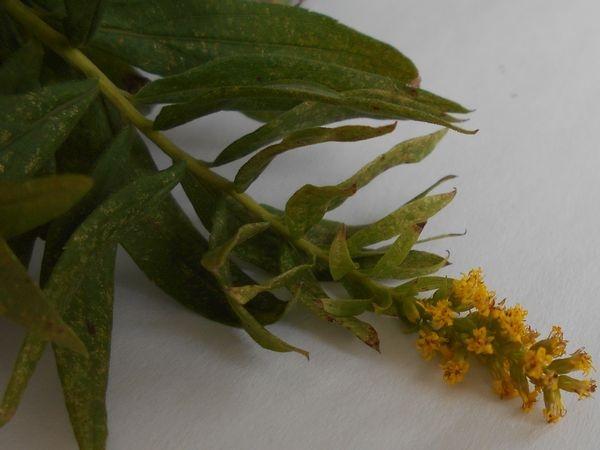 セイタカアワダチソウの花の時期。ブタクサやアキノキリンソウと