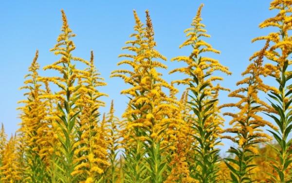 セイタカアワダチソウの花の群生