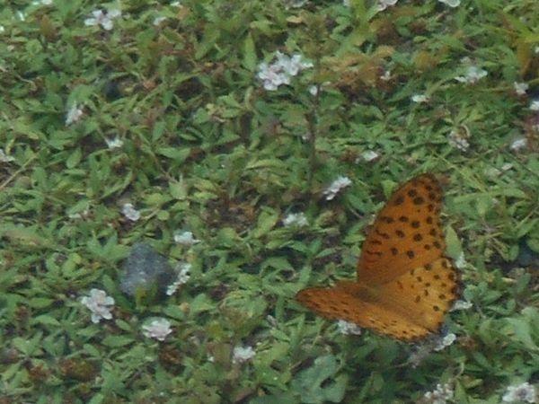 リッピアと蝶々1