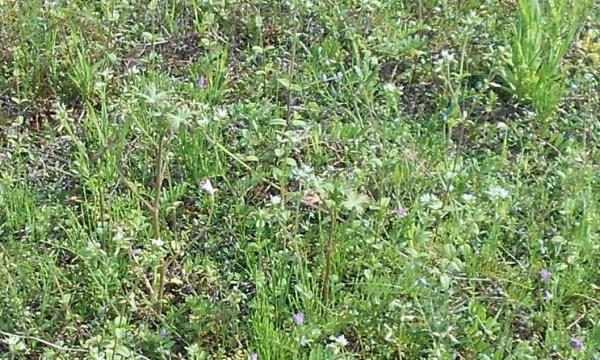 雑草に埋もれるヒメイワダレソウ