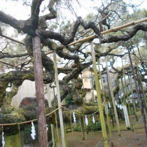 八坂神社叢雲の松