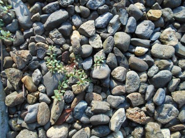 マツバウンランの芽1