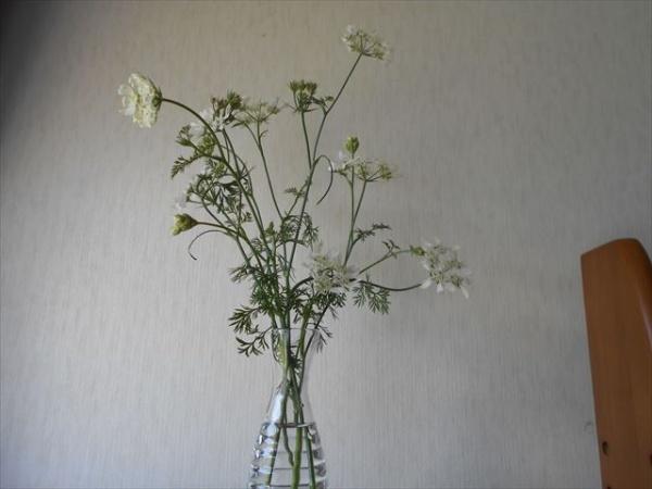 オルラヤホワイトレースフラワーの花1