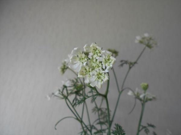 オルラヤホワイトレースフラワーの花2