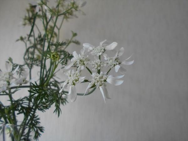 オルラヤホワイトレースフラワーの花3