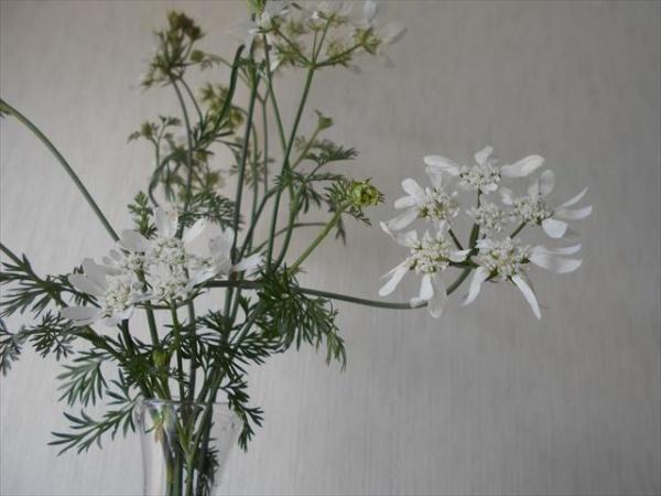 オルラヤホワイトレースフラワーの花4