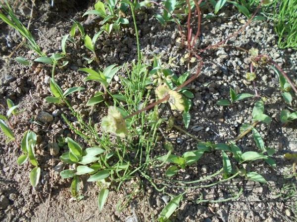 スギナとホトケノザが茂る庭