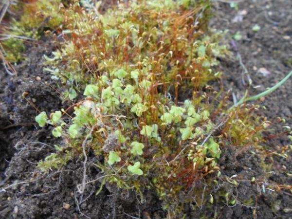 ジンガサゴケと他の苔