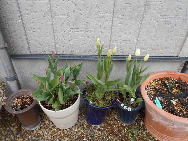 12月31日冬咲きチューリップのつぼみ