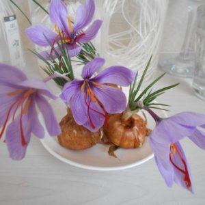 サフランの花が咲く
