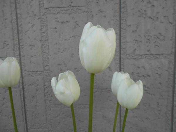 チューリップの白い花