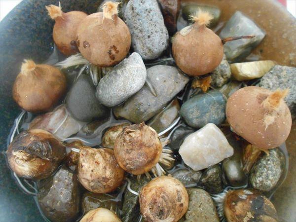 ムスカリとチューリップの水栽培11月15日