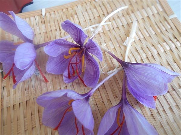 サフランの花