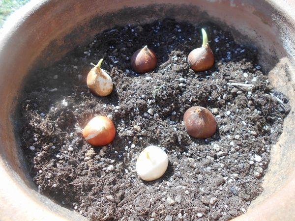 チューリップの球根を並べる