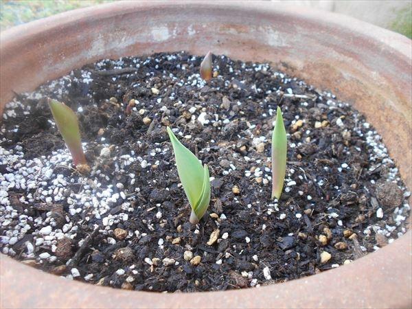 チューリップの芽11月15日