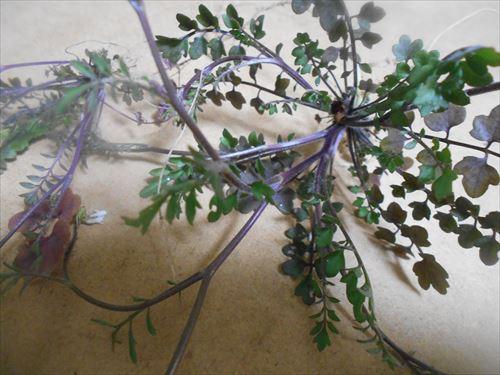 タネツケバナの葉