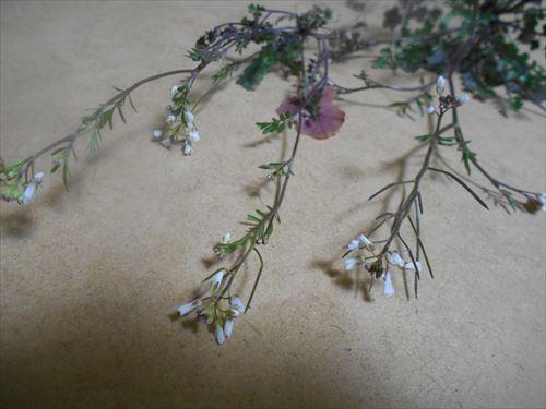 タネツケバナの花