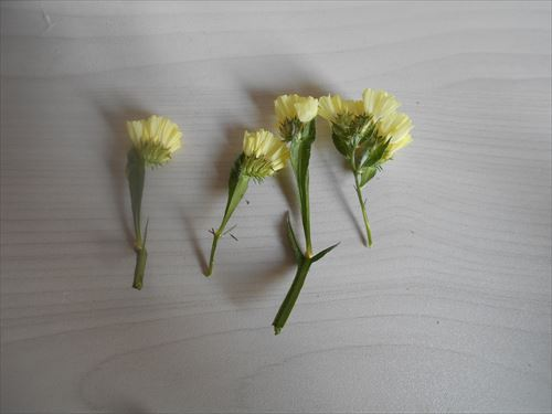 スターチスの花をカットする