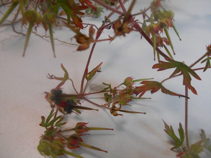 アメリカフウロの紅葉