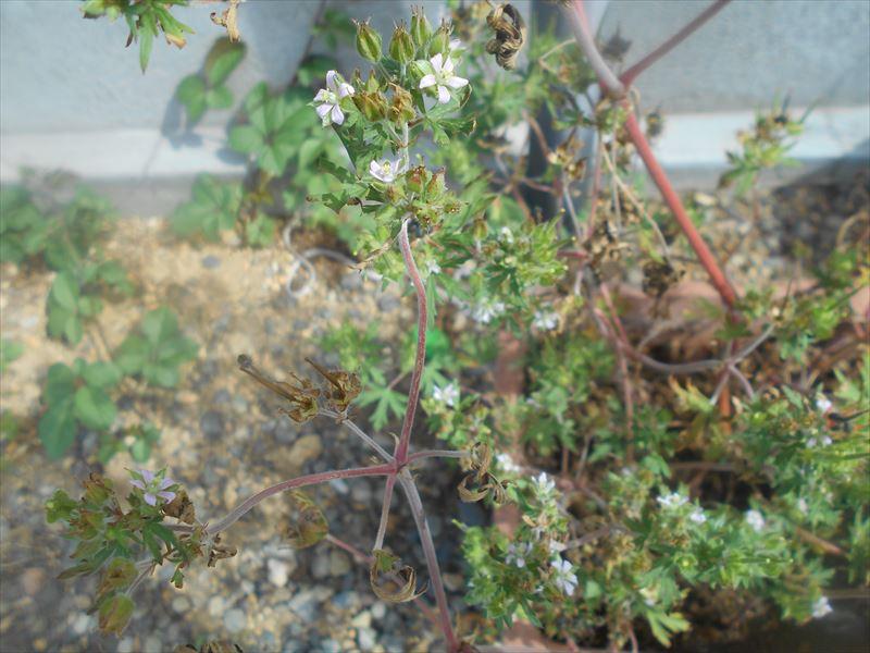 鉢植えのアメリカフウロの花