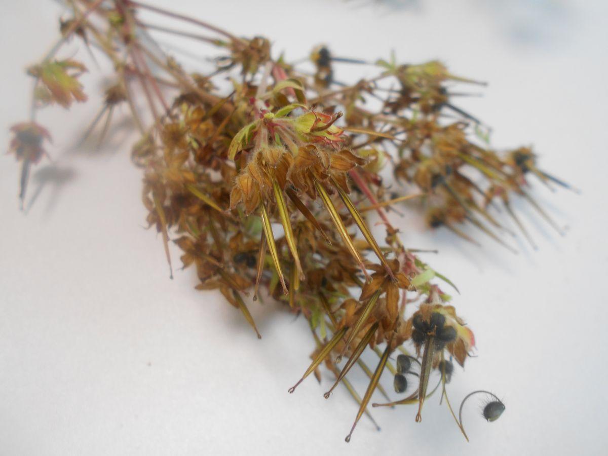 アメリカフウロの種子
