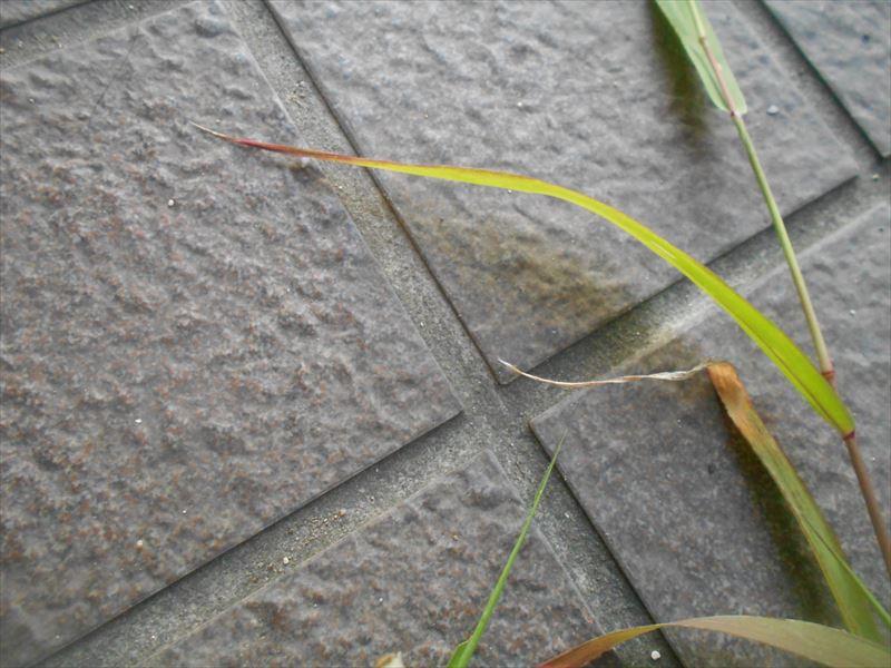 エノコログサの葉