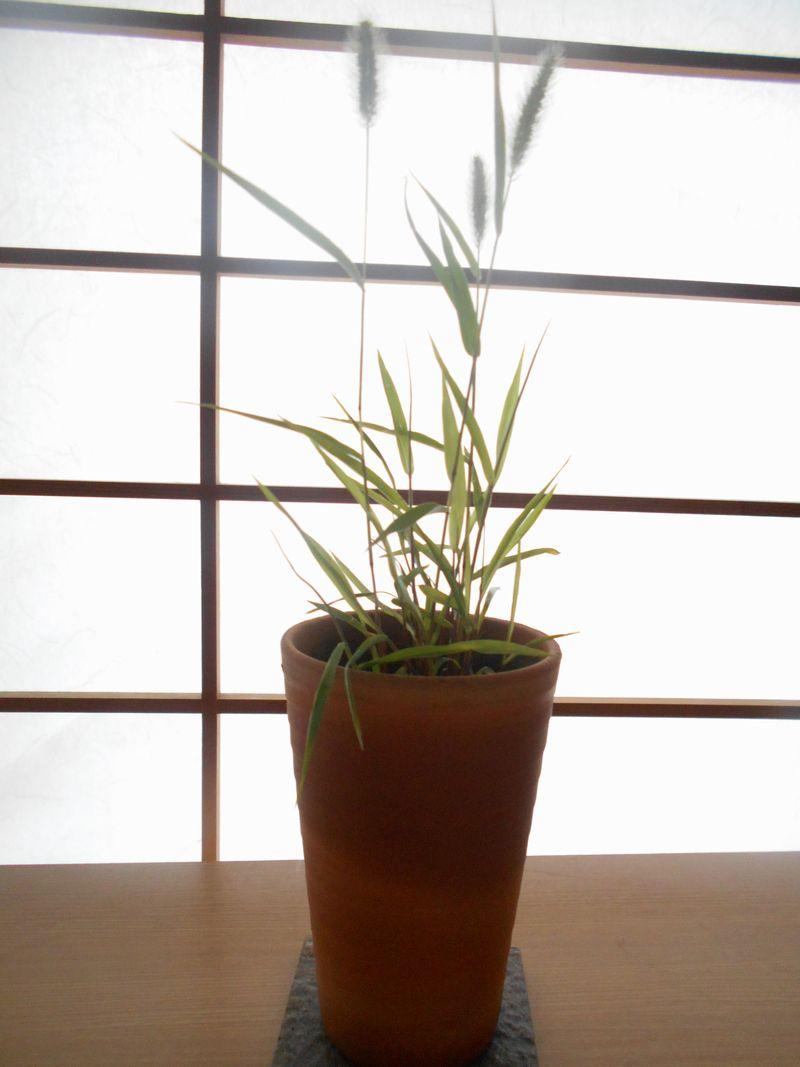 エノコログサの鉢植え