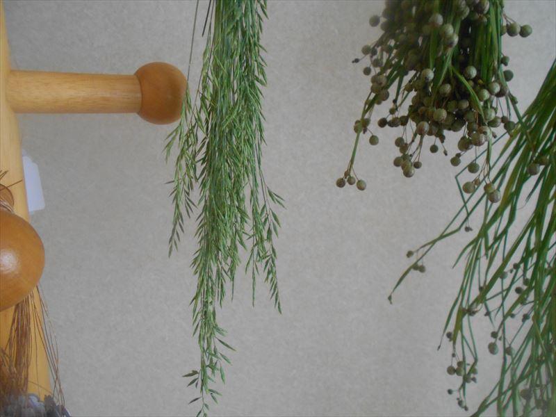 フェスツカグラウカを束にして乾燥させる