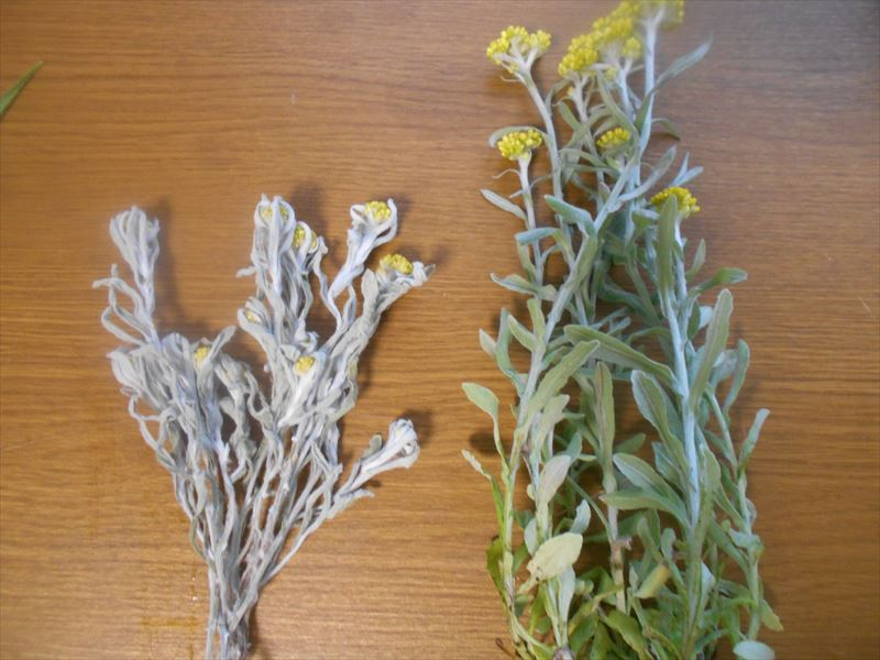 ハハコグサの葉っぱの色の変化