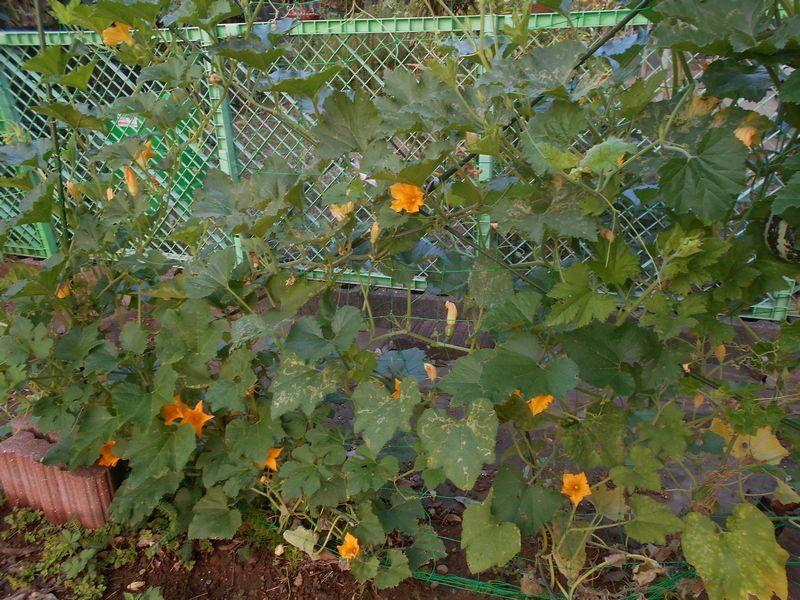 葉っぱの茂ったおもちゃかぼちゃ